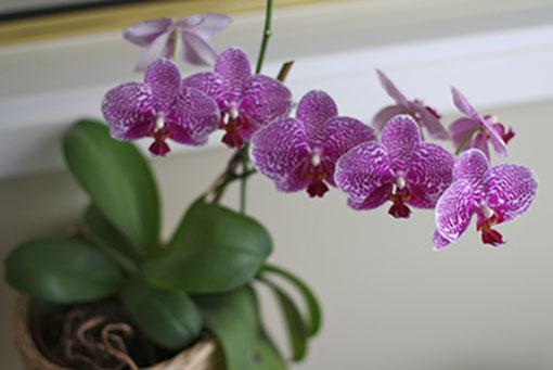 Mettere un'orchidea sui tavoli per computer in ufficio per depurare l'aria