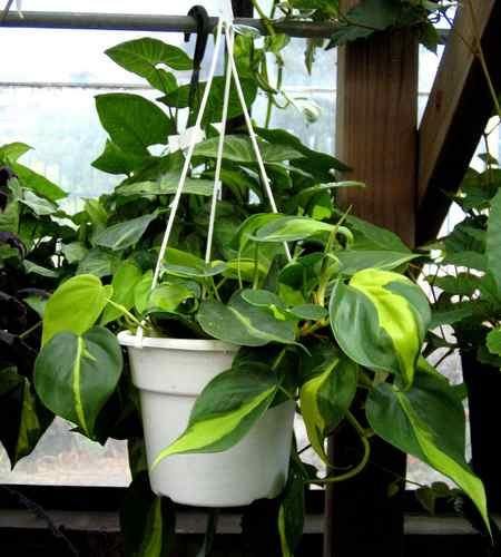 11 piante da ufficio per migliorare l 39 ambiente di lavoro - Piante da ufficio resistenti ...